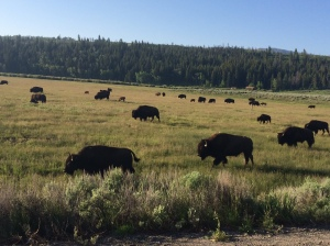 bison, outdoors, Wyoming